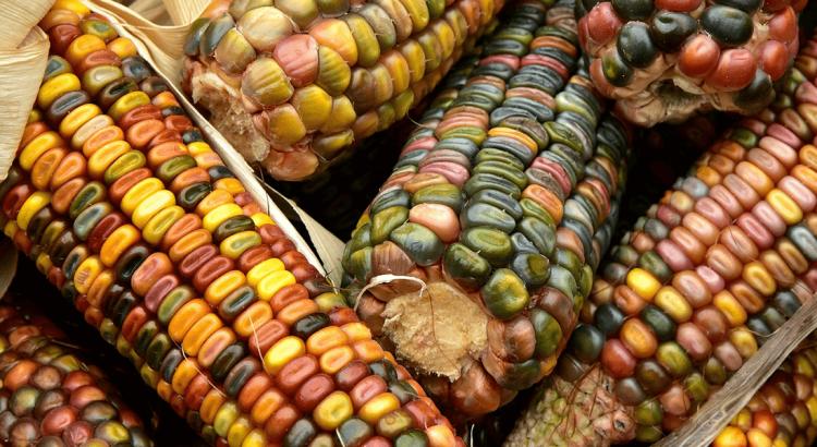 Kolorowa kukurydza - geny nagłówek.
